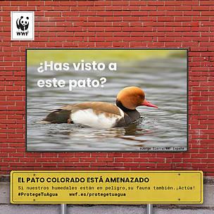 Pato colorado amenazado por el mal estado de los humedales. Si el agua está en peligro, su fauna acuática también.